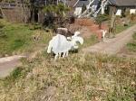 Schafe mal anders